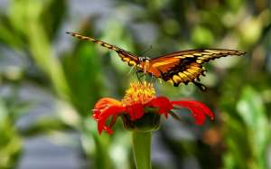 Butterfly-Feeding-With-Nectar-Wallpaper